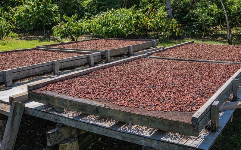 Vers un prix plancher pour le cacao ?
